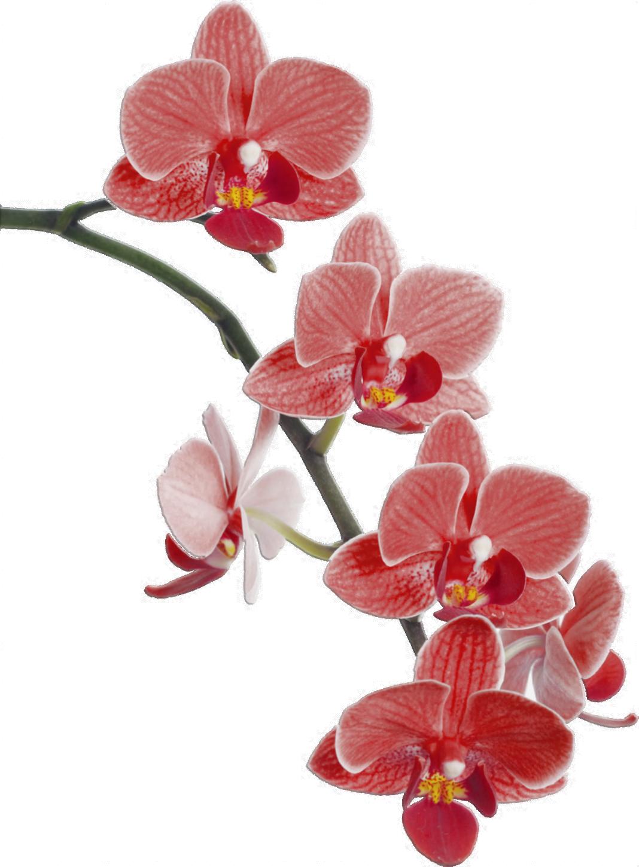 Más de 1000 imágenes sobre Orquídeas pintadas o dibujadas ...